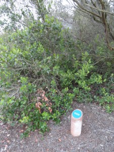 One of Chris Zaleski's signs that identifies a lemonadeberry plant native to the Rose Creek Watershed.