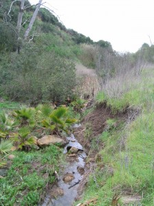 Lakehurst Canyon, a tributary of San Clemente Creek, is degraded by erosion and invasive non-native palms.