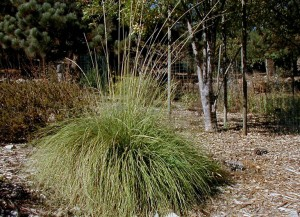 Deergrass is one of many attractive California-friendly alternatives to pampas grass.