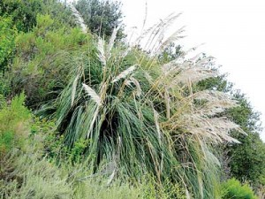 Invasive plants such as pampas grass have taken over the Rose Creek Corridor and provide homes for pests such as rats. This overgrown brush can also provide places in which people engaged in illegal activities can hide