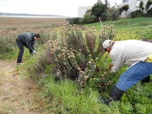 Volunteers remove iceplant that is crowding out a native California Buckwheat plant at Kendall-Frost Mission Bay Marsh Reserve.