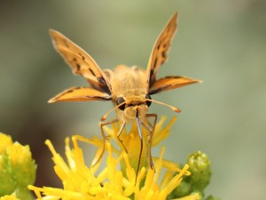 A woodland skipper on golden bush, a native California plant found in the Rose Creek Watershed. Photo by Roy Little.