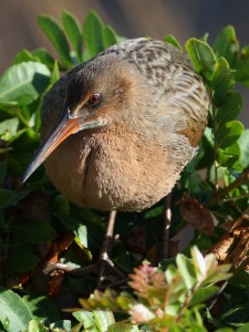 The endangered light-footed clapper rail makes its home in the Mission Bay Marshes.