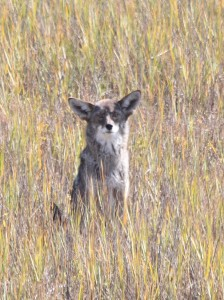 Evidence of top predators such as coyote, bobcat and mountain lion are often found in the Rose Creek Watershed. Photo by Roy Little.