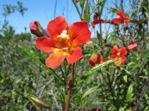 The Native California Monkey Flower is reasonably fire safe and has a long bloom cycle in the Rose Creek Watershed. Monkey flowers can be seen in bloom for months in the spring the canyons of Clairemont and University City. Photo: Walter Shaw
