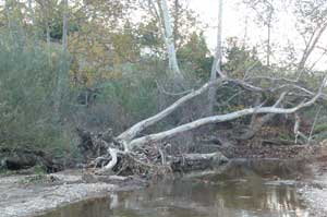 The roots of this native sycamore were destroyed by water moving too quickly through Rose Creek.