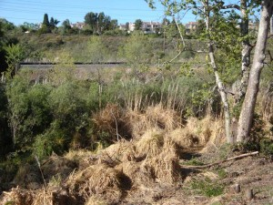 One year after the initial spraying, the dead leaves of the pampas grass plants are decaying back into the environment and will eventually allow room for native plants to flourish.