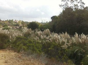 Some areas of Rose Canyon were overrun with invasive pampas grass.